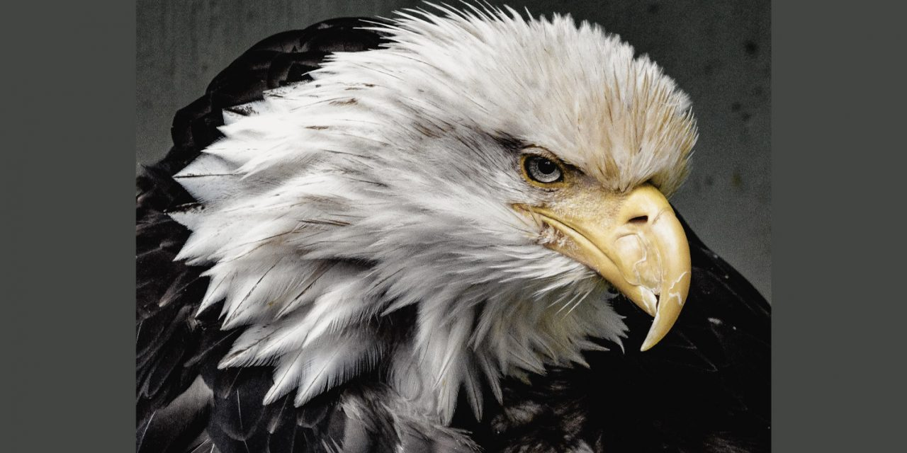America's Bald Eagle Population Continues to Soar