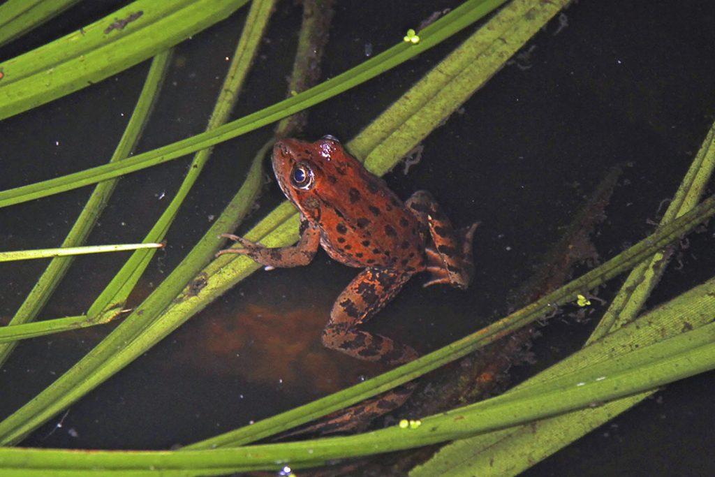 California_red-legged_frog_(Rana_draytonii)_-_Flickr_-_GregTheBusker_(1)