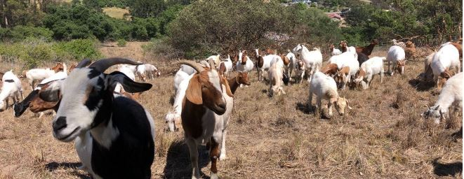 Goats, Sheep to Graze in Salinas Riverbed to Reduce Hazardous Fuels