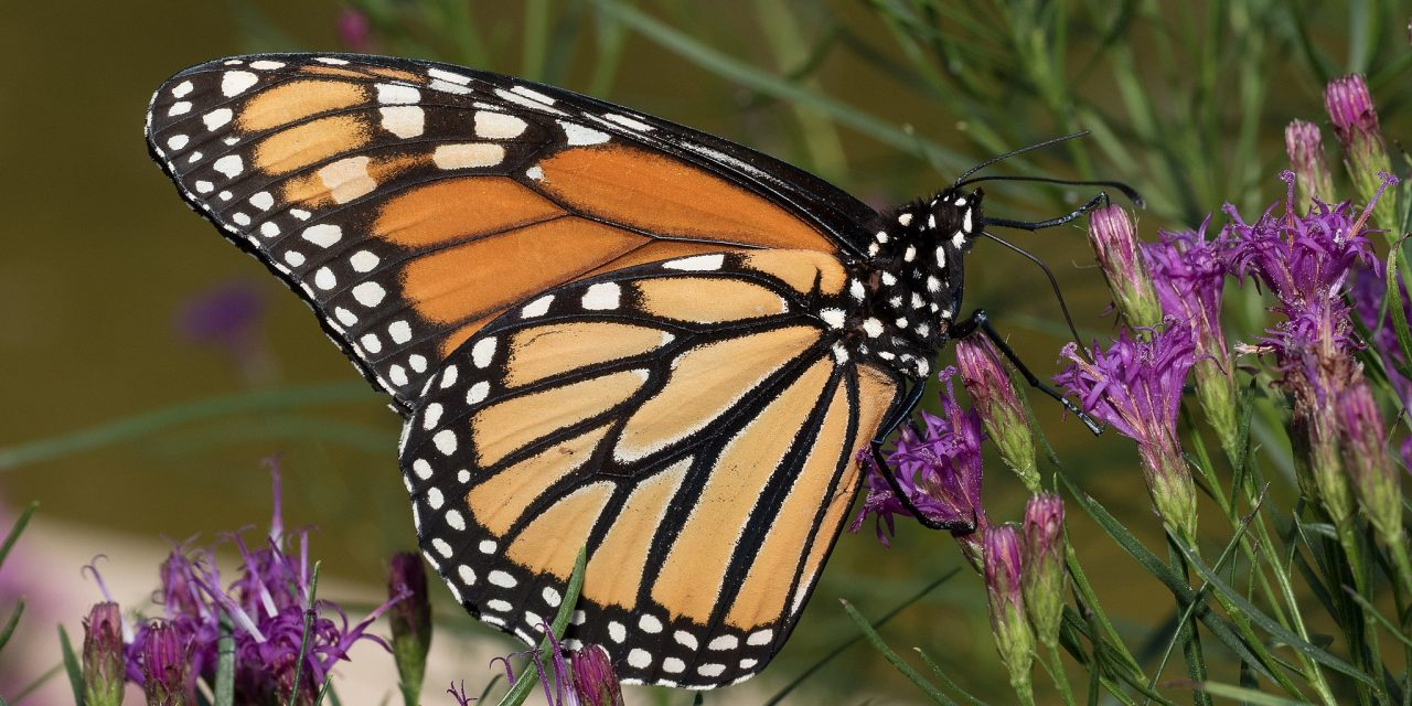 US Fish and Wildlife: Much-Needed Federal Protection for Monarch Butterfly Warranted but Precluded