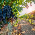 Paso Winemakers Reflect on Vintage 2020