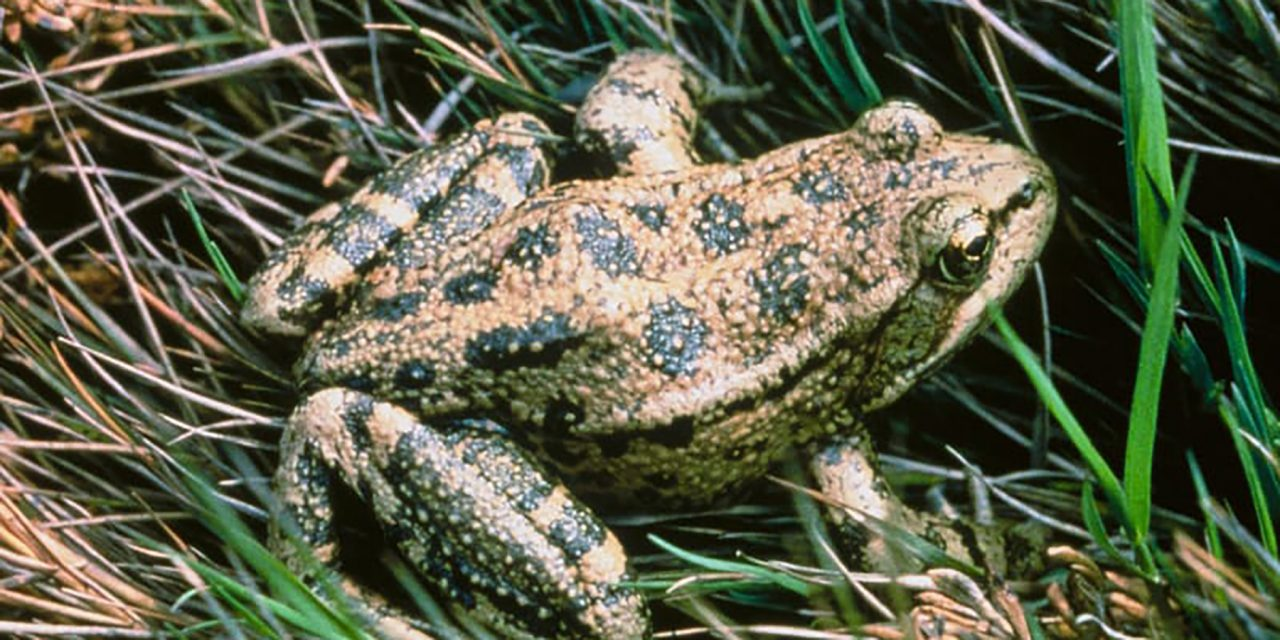 The State Amphibian is the California Red-Legged Frog