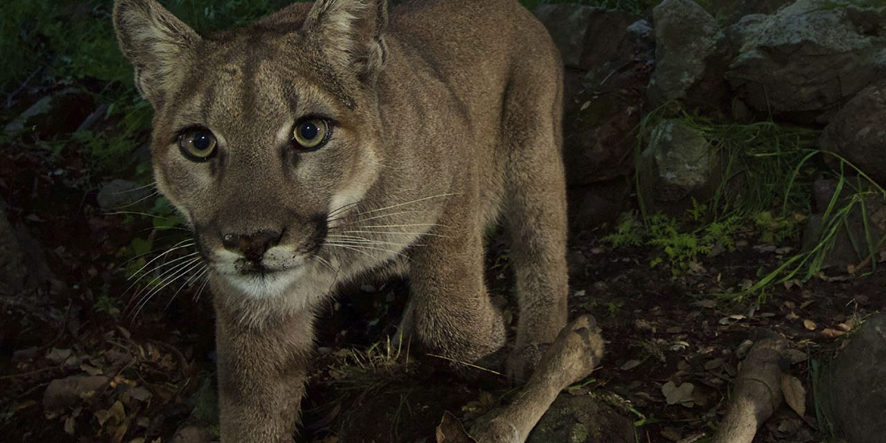 California on the Prowl to Protect Mountain Lions